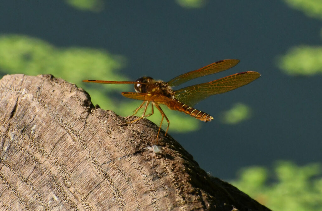 Eastern amberwing, Prospect Park