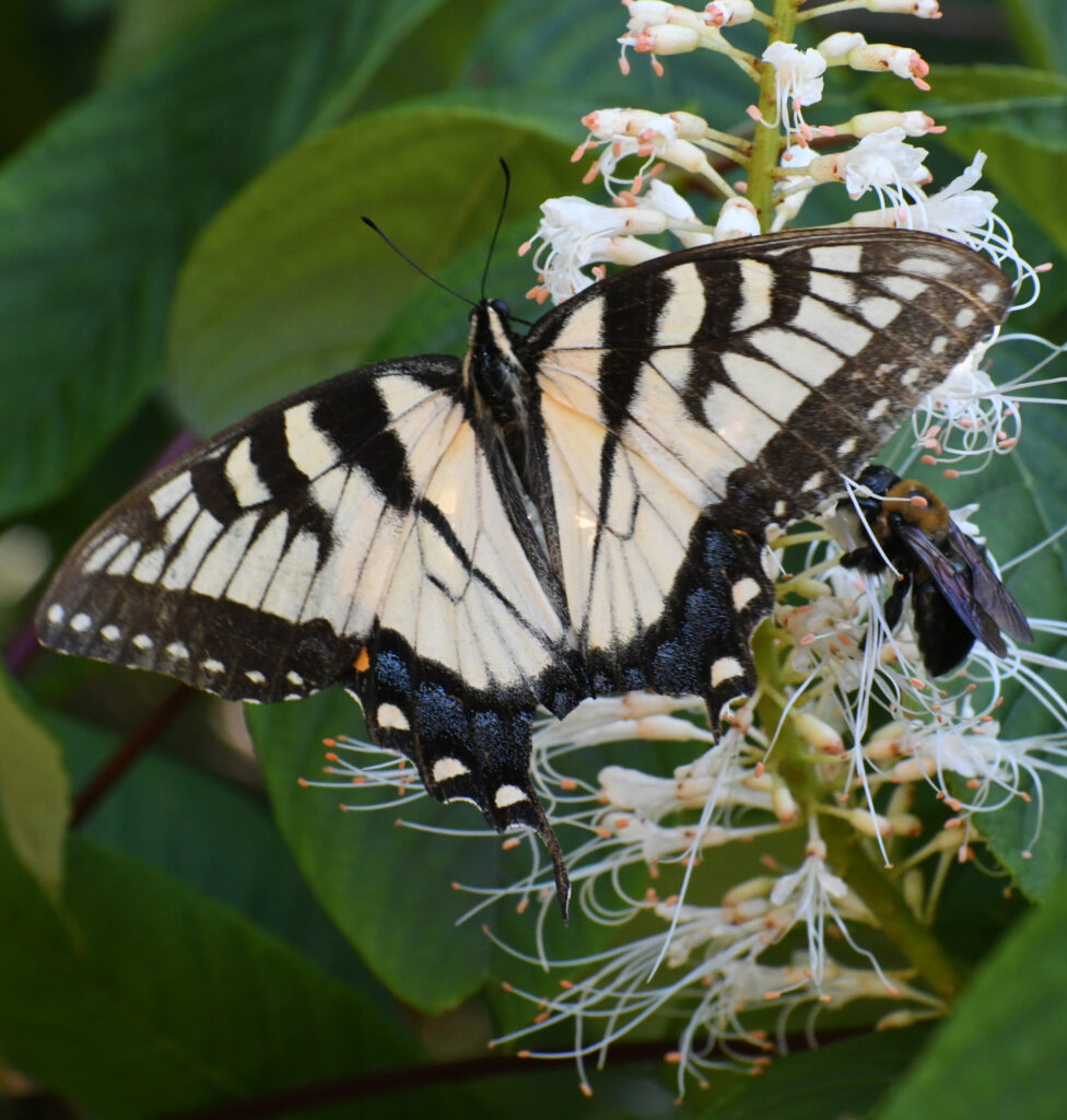 Eastern tiger swallowtail (female), on bottlebrush buckeye (maybe?) flowers, Prospect Park