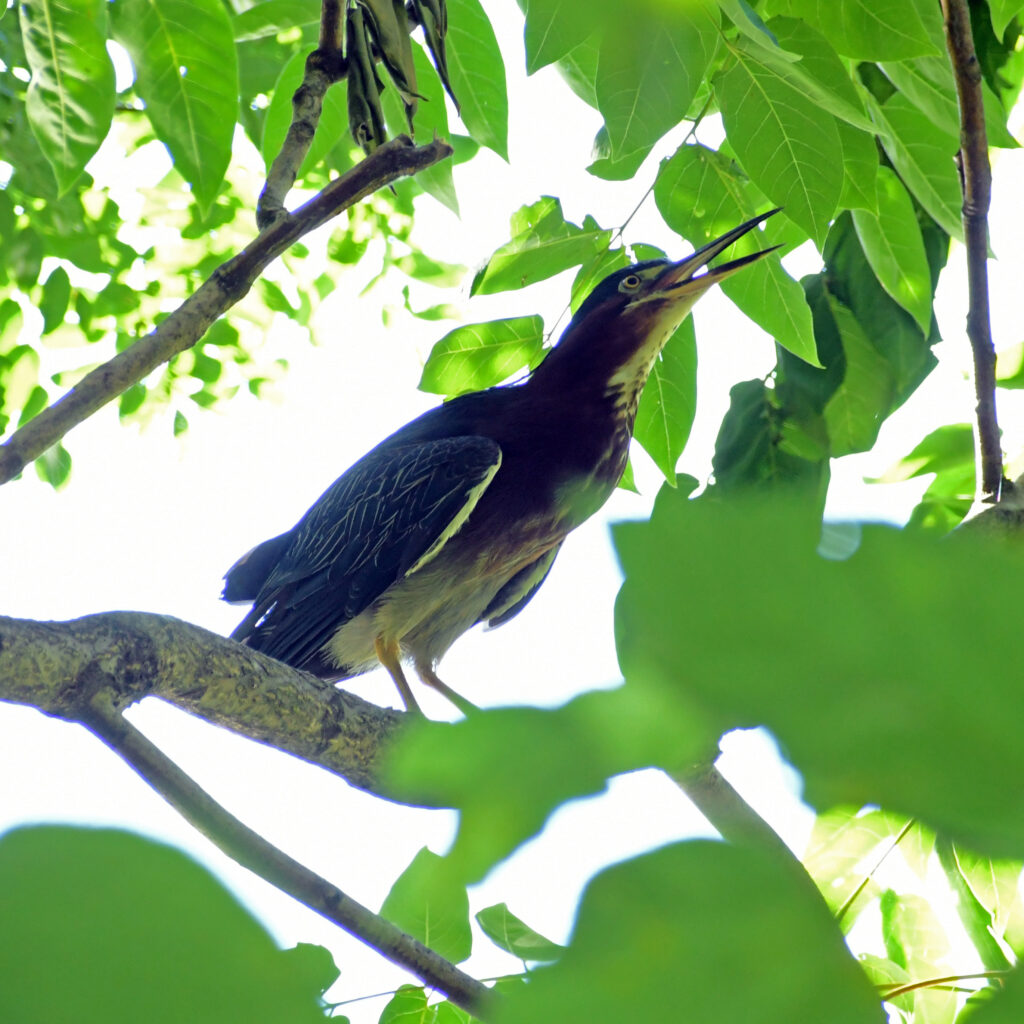 Green heron, Prospect Park