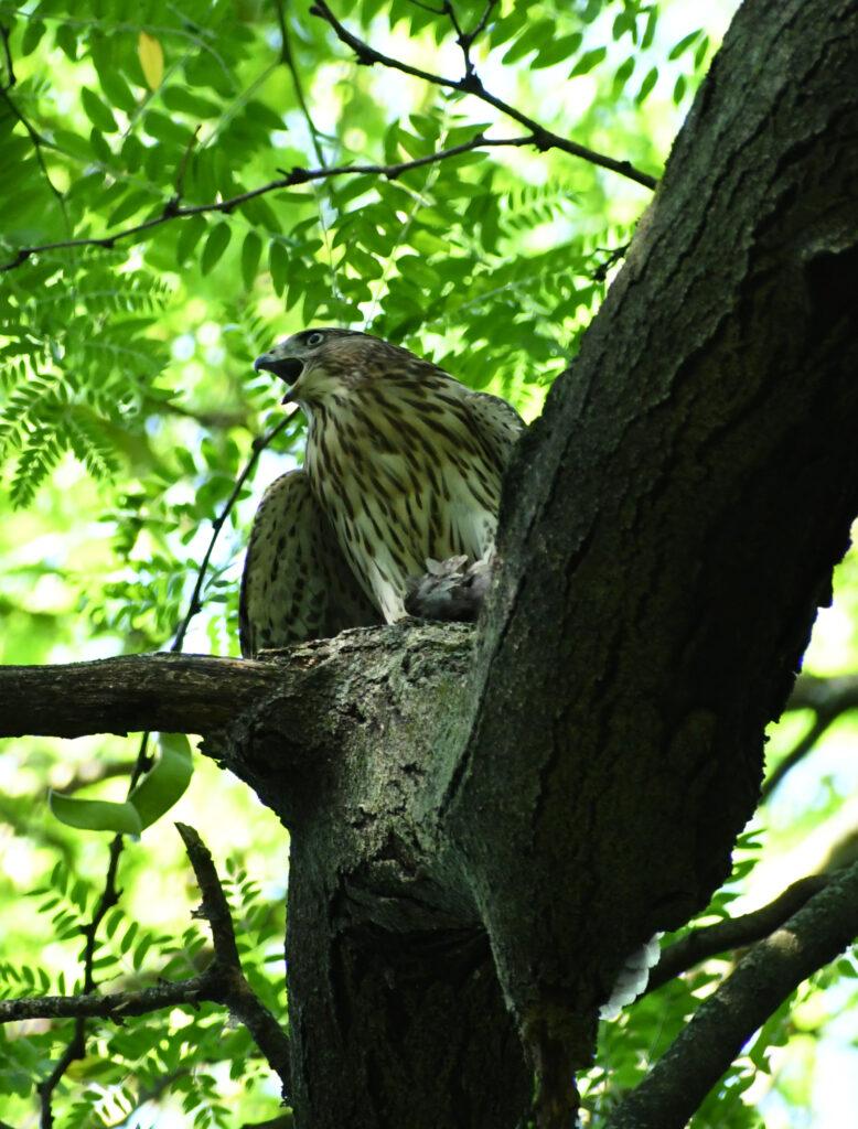 Juvenile Cooper's hawk, Prospect Park