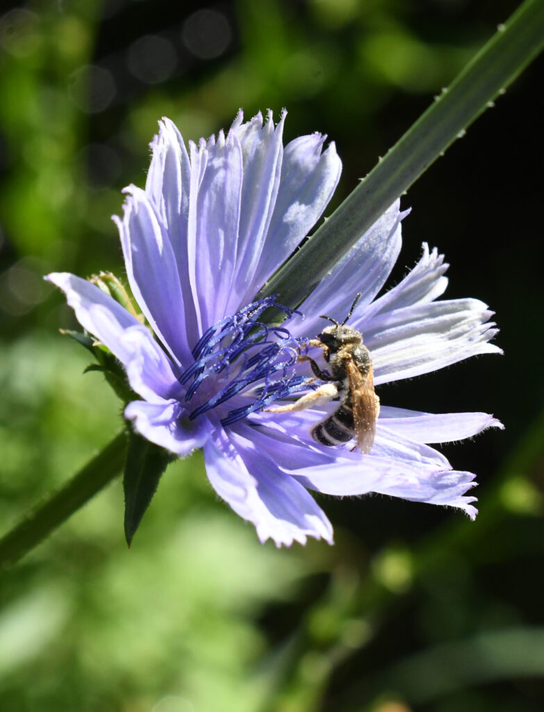 Bee in chicory, Prospect Park
