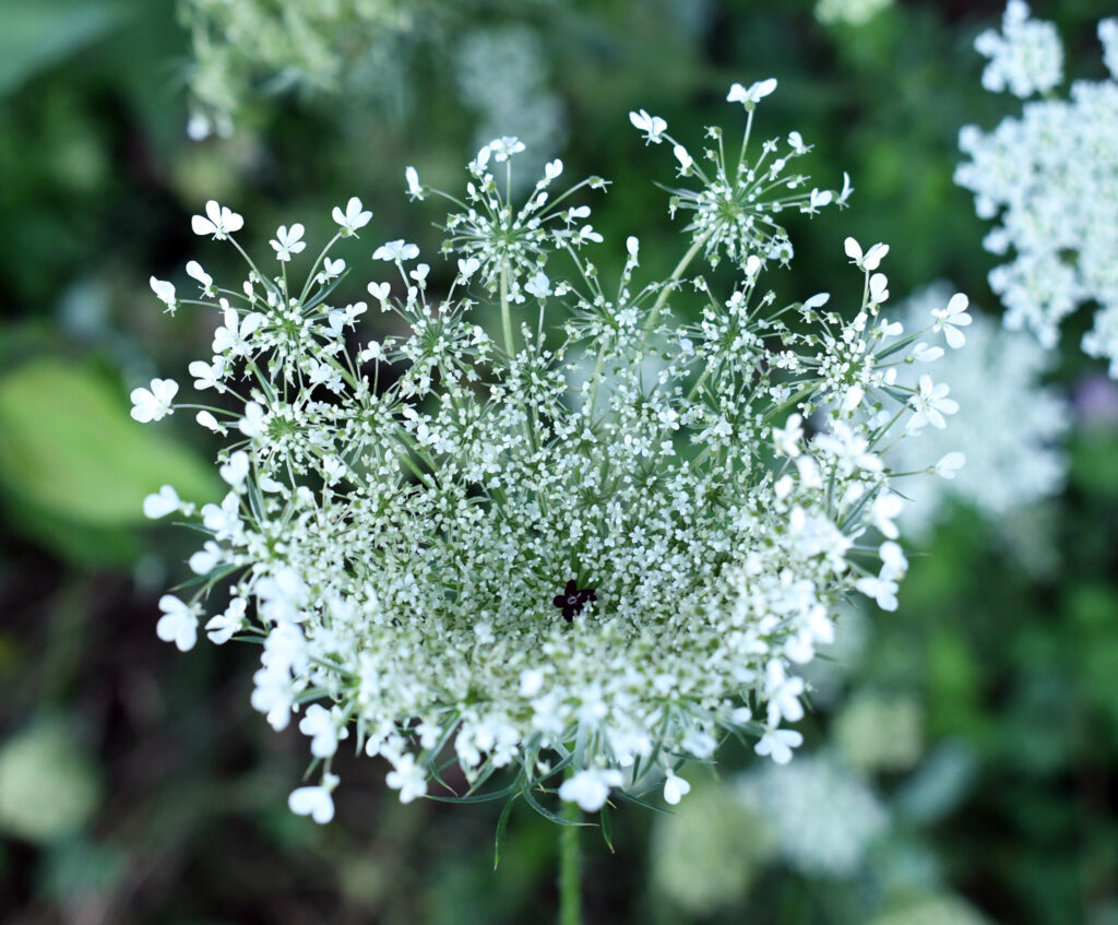 Queen Anne's lace, Prospect Park