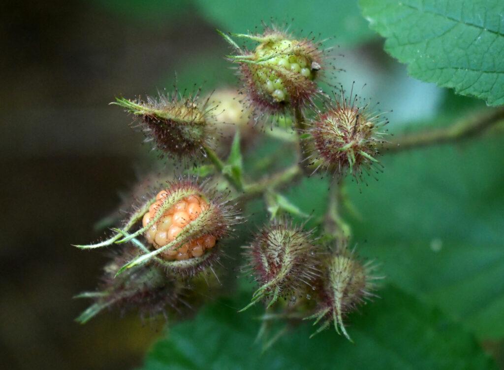 Wild raspberries, Prospect Park