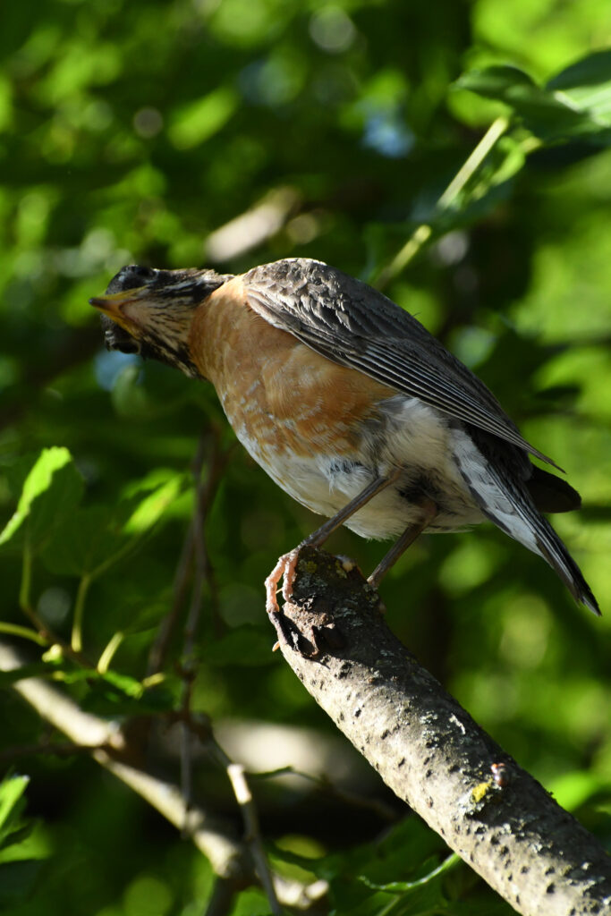 Robin, Prospect Park