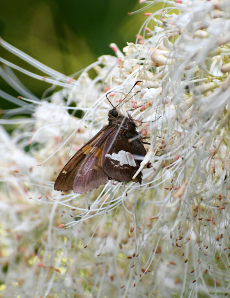 Silver-spotted skipper in bottlebrush buckeye flowers, Prospect Park
