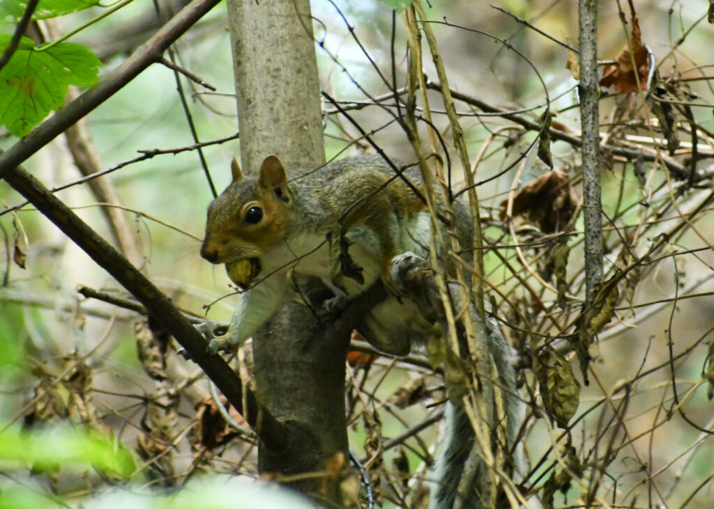 Squirrel, Prospect Park