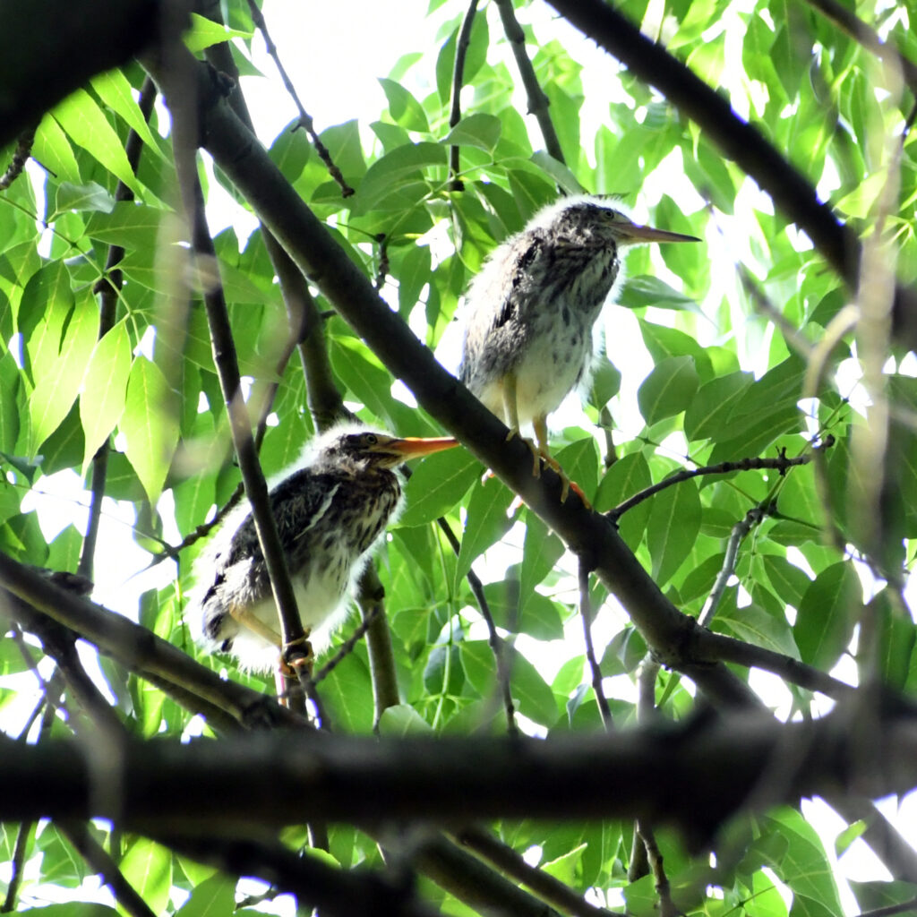 Green heron fledglings, Prospect Park