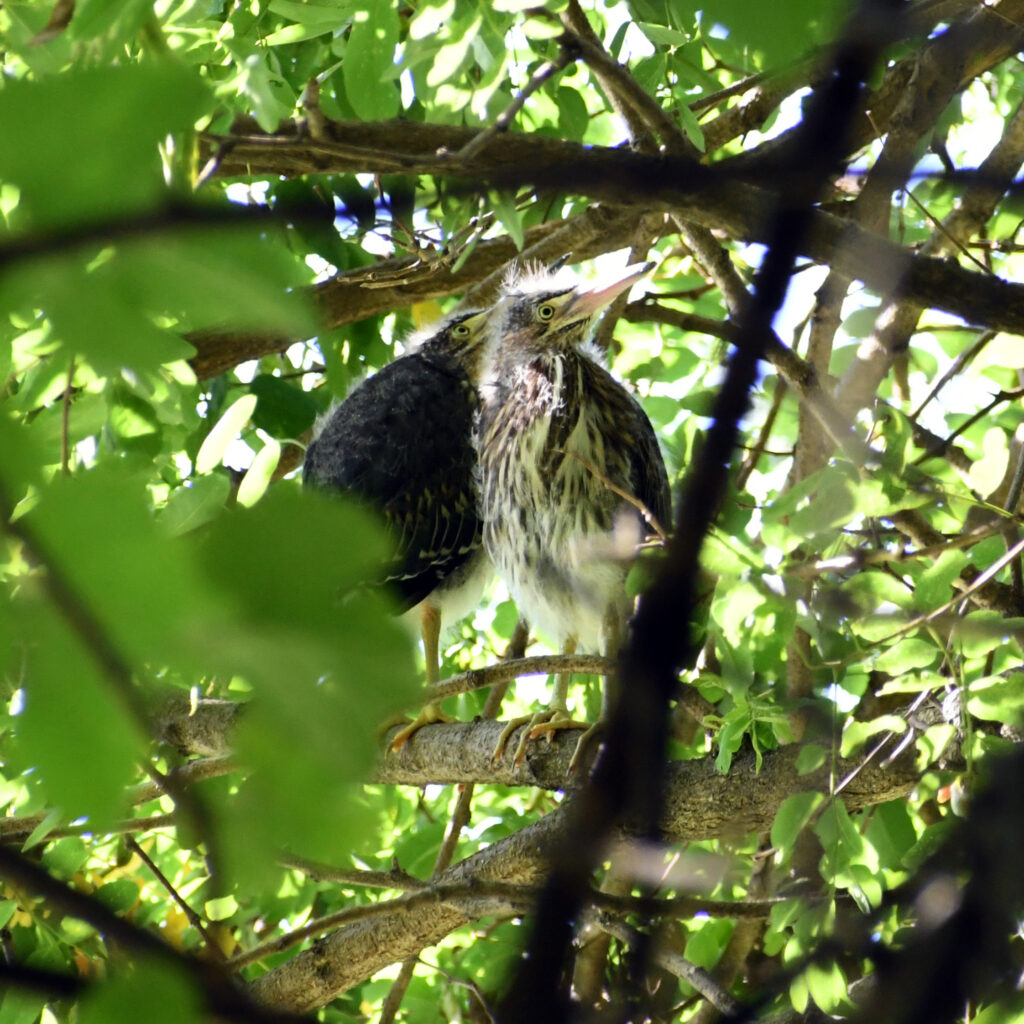 Green heron fledglings, Prospect Park