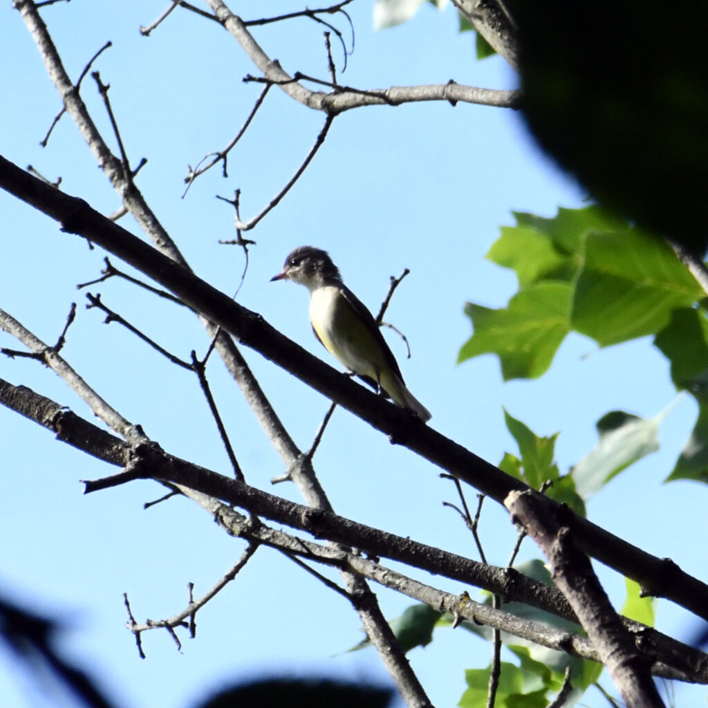 Warbling vireo (maybe?), Prospect Park