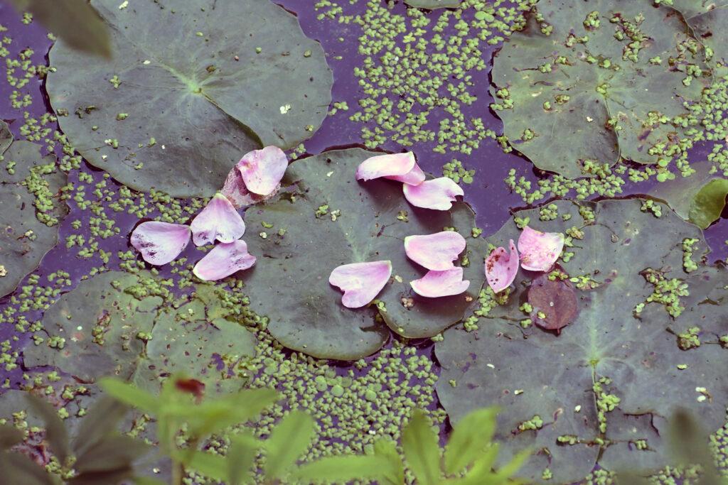 Yesterday's swamp rose, Prospect Park