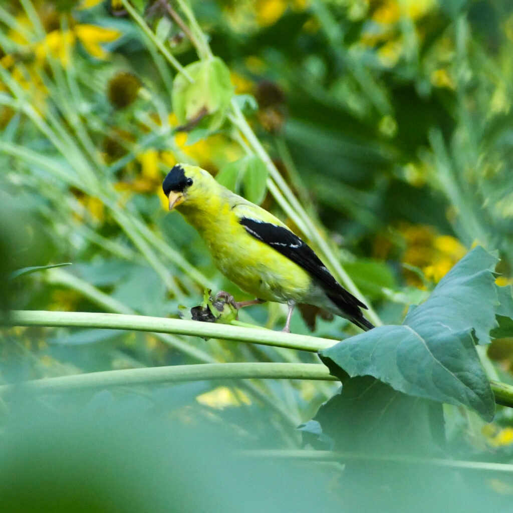 American goldfinch (male), Prospect Park