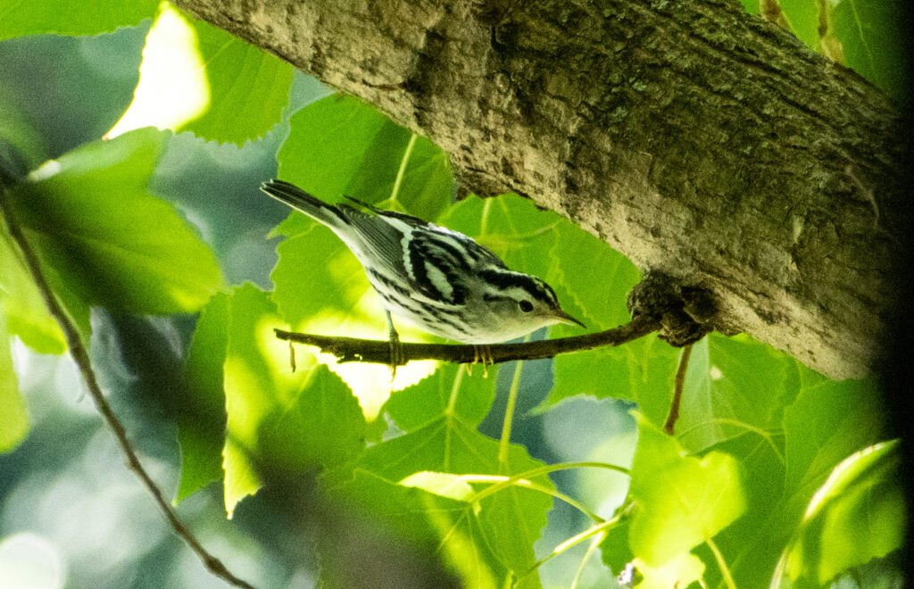Black-and-white warbler, Prospect Park