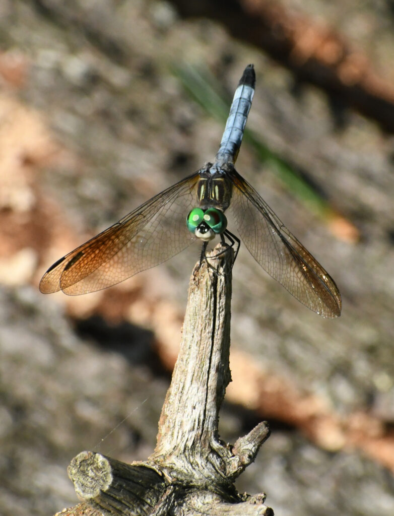 Blue dasher, Prospect Park