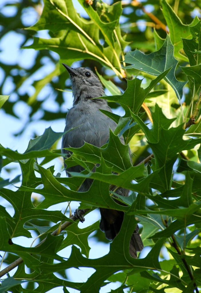 Gray catbird, Prospect Park