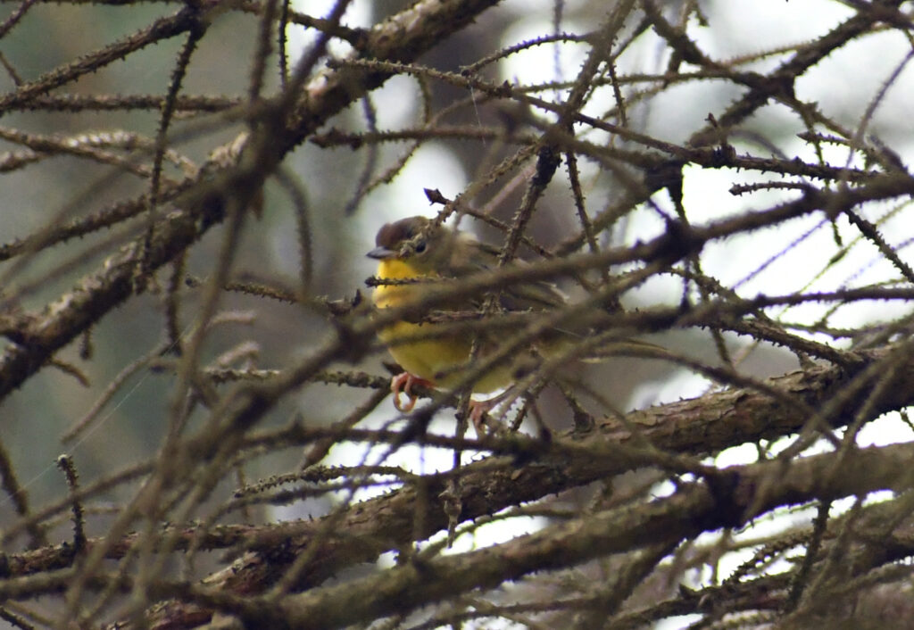 Common yellowthroat (female or first-year male), Roxbury, NY