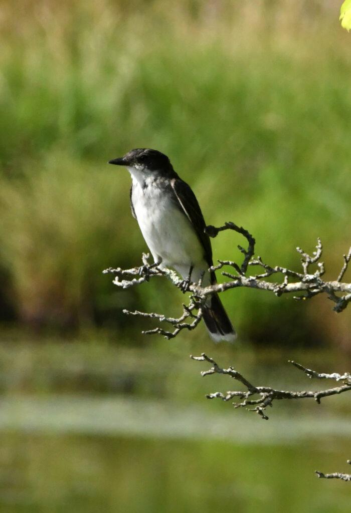 Eastern kingbird, Halcottsville, NY