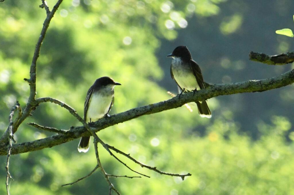 Eastern kingbird pair, Prospect Park