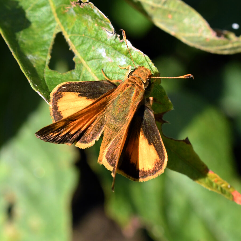 Fiery skipper (male), Prospect Park