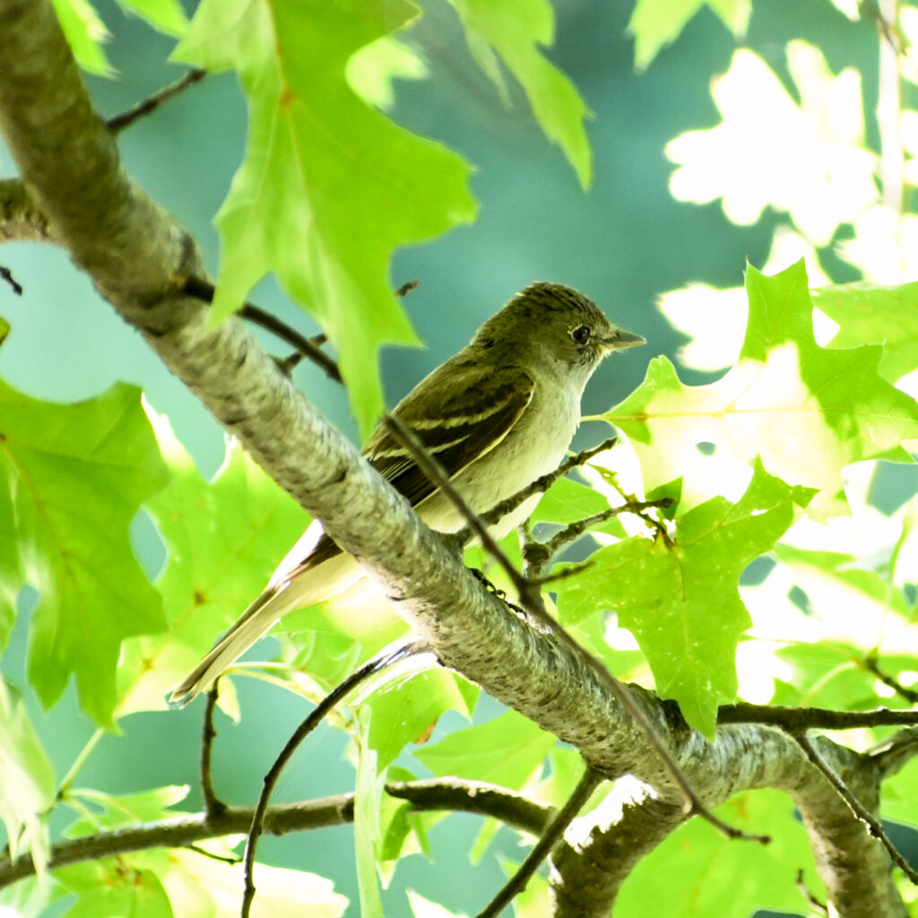Flycatcher (maybe alder flycatcher?), Prospect Park