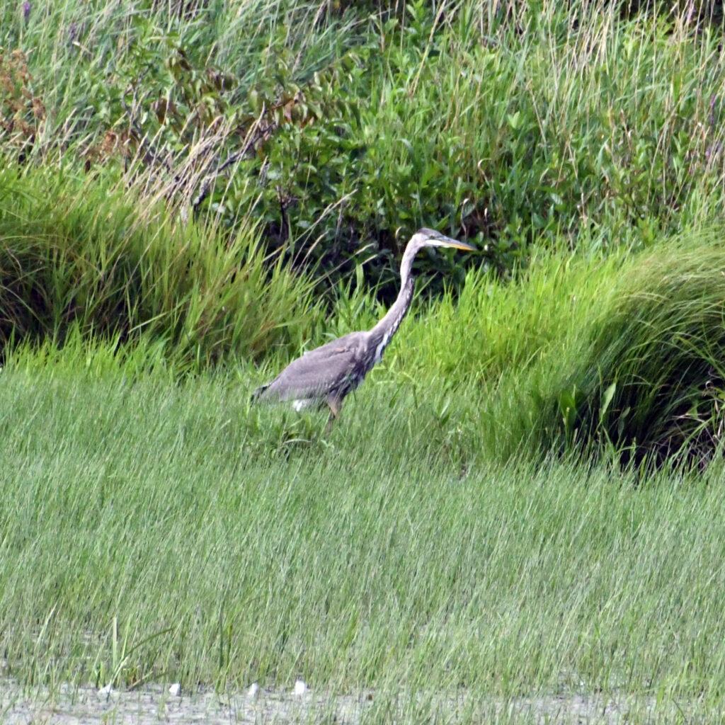 Great blue heron (juvenile), Halcottsvile, NY