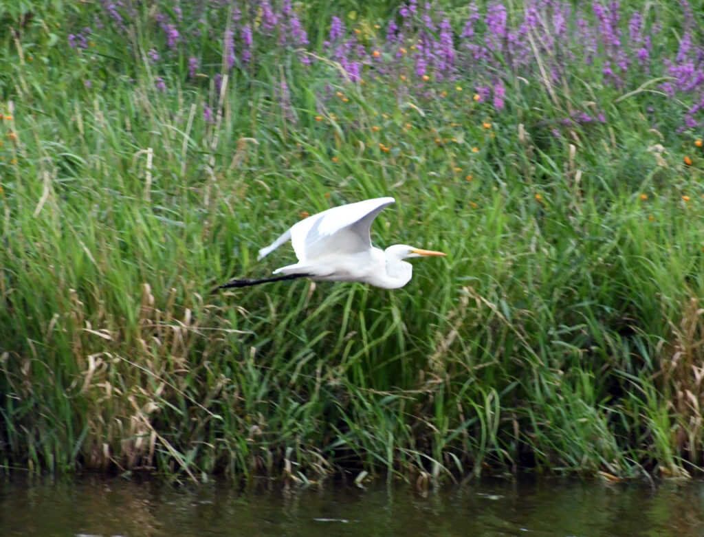 Great egret, Halcottsville, NY