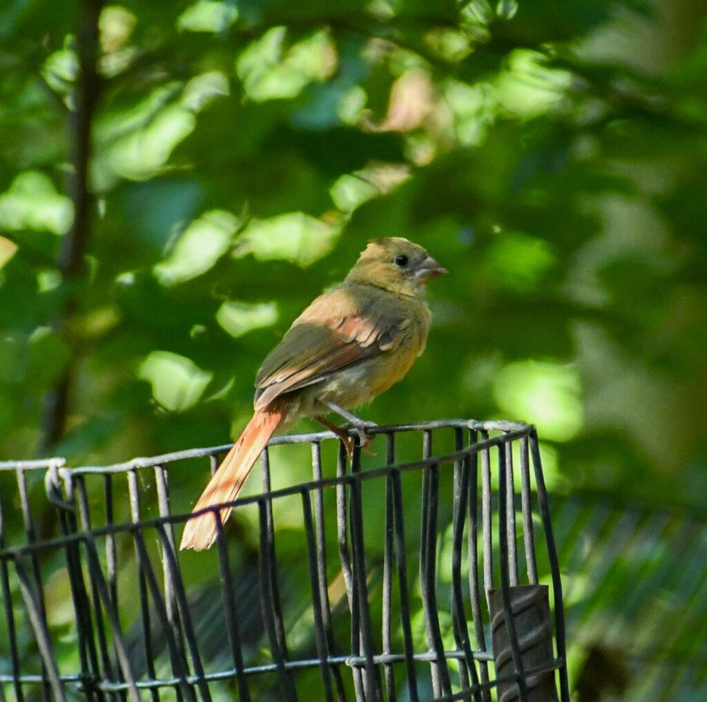 Cardinal (immature), Prospect Park