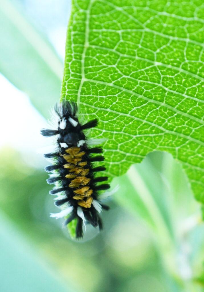 Milkweed tiger moth caterpillar, Roxbury, NY