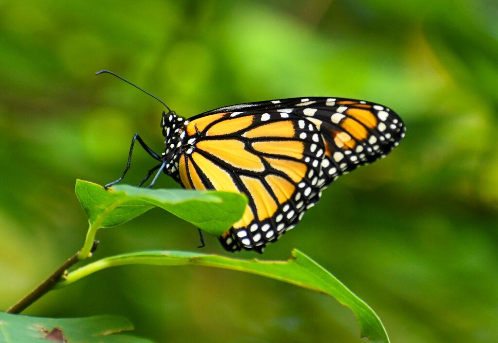 Monarch butterfly (female), Prospect Park