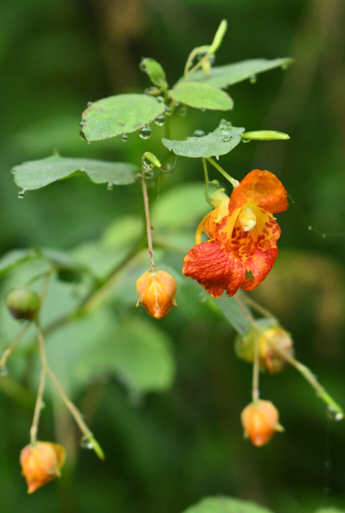 Orange jewelweed, Roxbury, NY