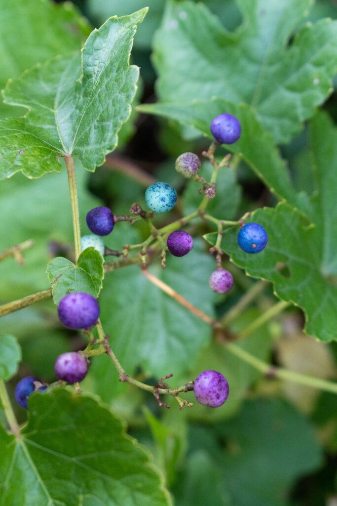 Porcelain berries, Prospect Park