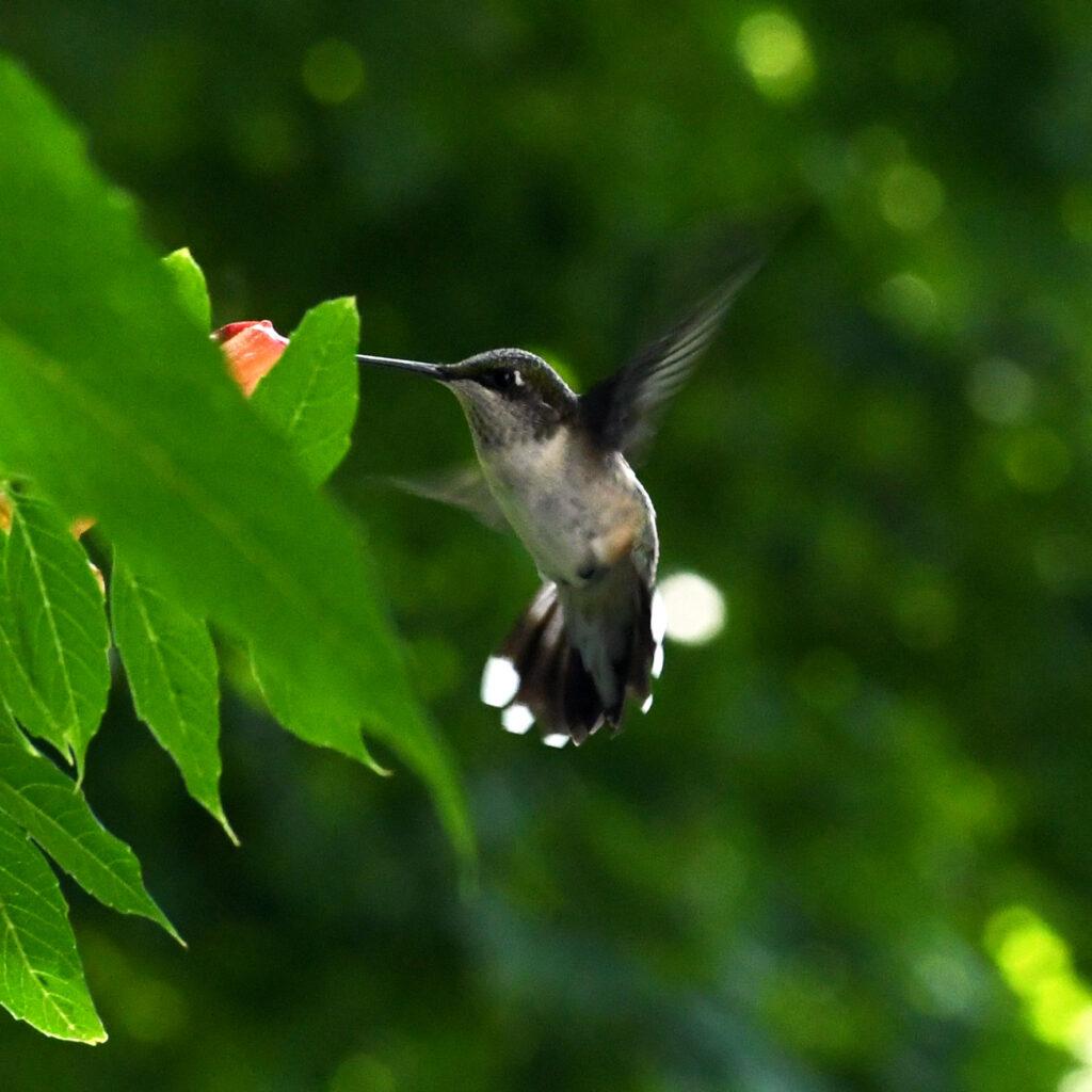 Ruby-throated hummingbird, Roxbury, NY