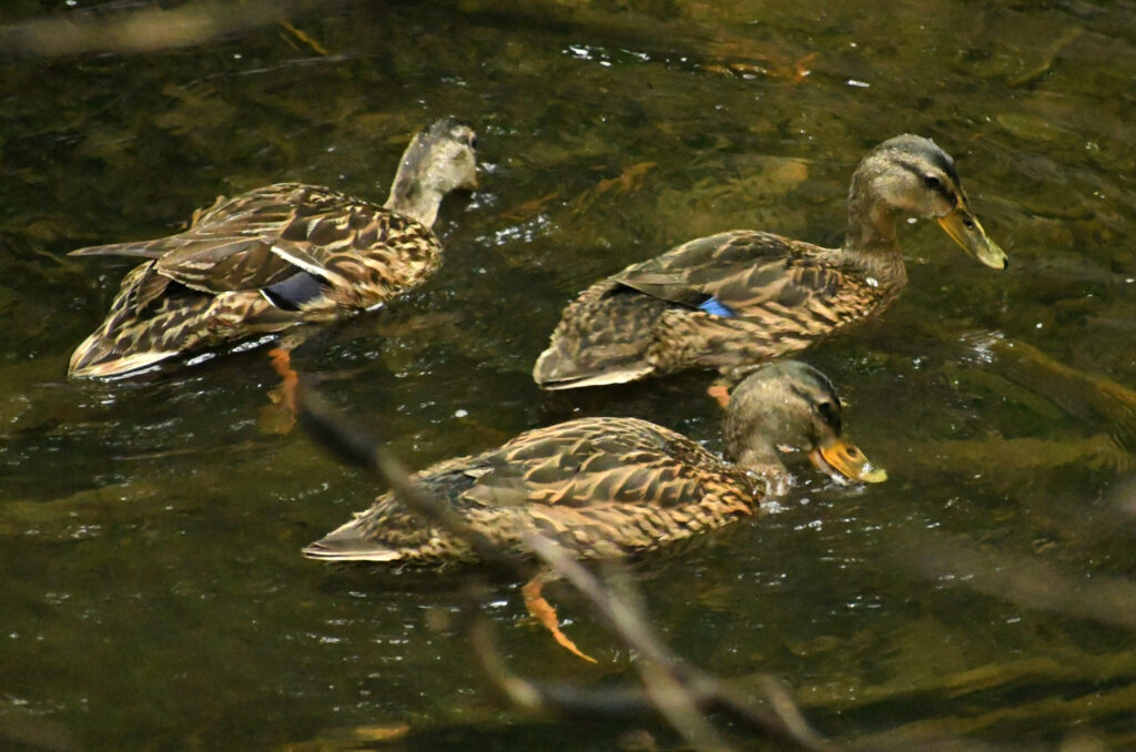Three juvenile mallards, Prospect Park