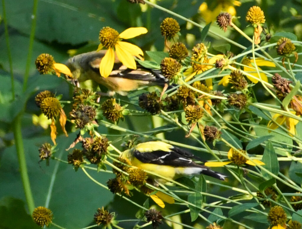 American goldfinches, in rudbeckia, Prospect Park