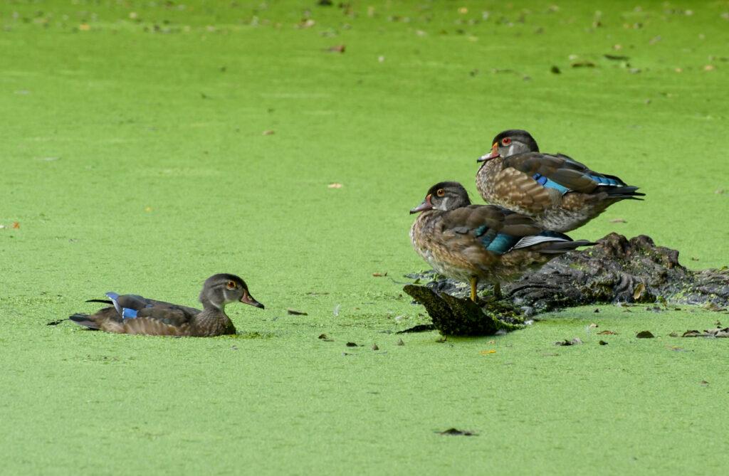 Wood ducks (adult nonbreeding male), Prospect Park