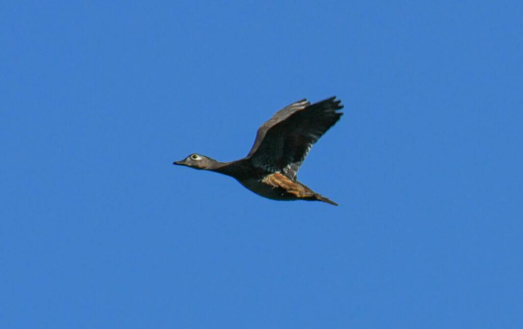 Wood duck (female), in flight, Prospect Park