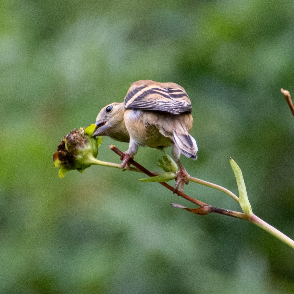 American goldfinch (nonbreeding adult female), Prospect Park