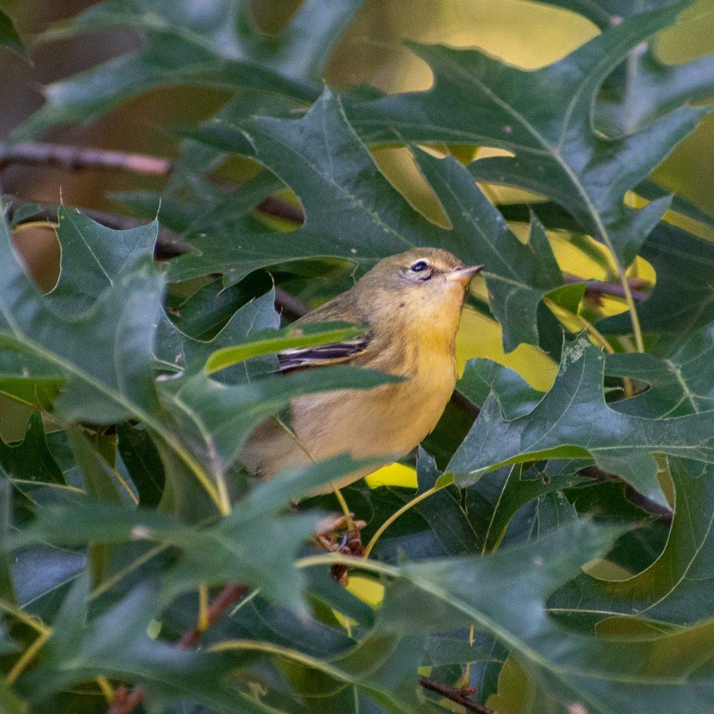 Blackpoll warbler (drab), Prospect Park