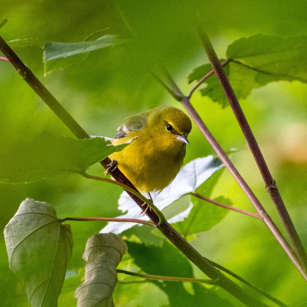 Blue-winged warbler, Prospect Park