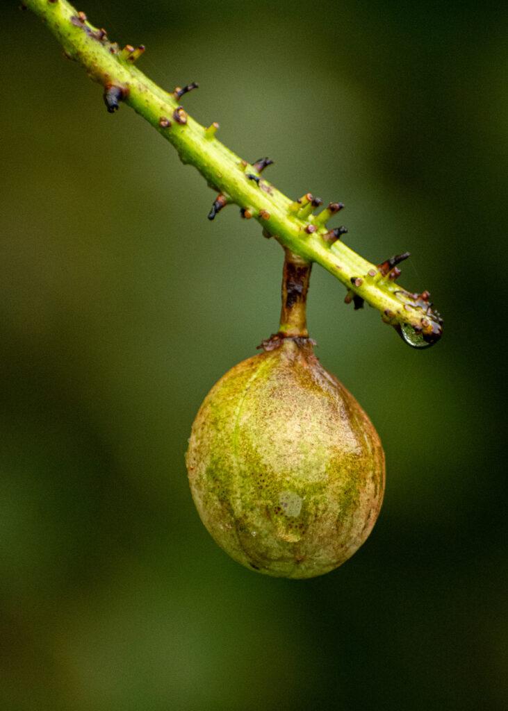 Buckeye fruit, Prospect Park