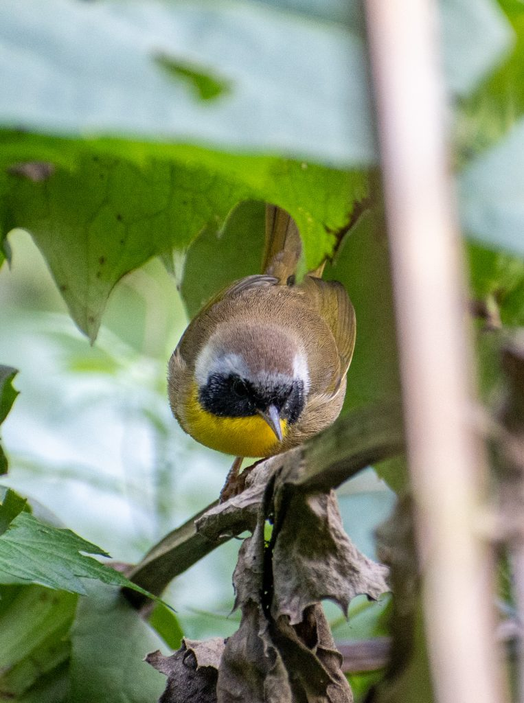 Common yellowthroat (male), Prospect Park