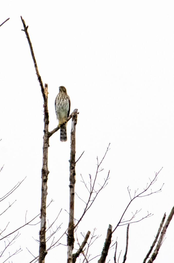 Cooper's hawk (juvenile), Prospect Park