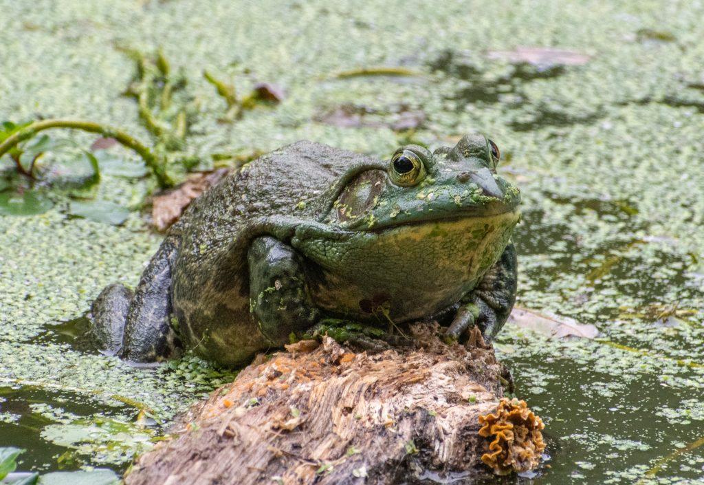 Frog, Prospect Park