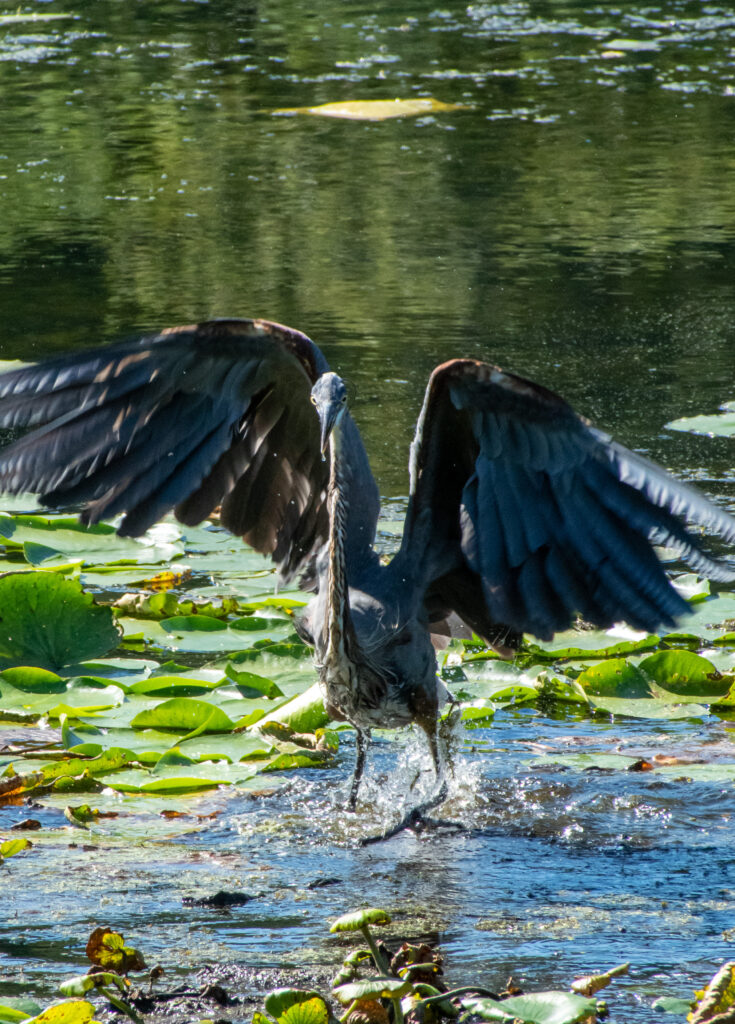 Great blue heron, Teatown Lake Reservation