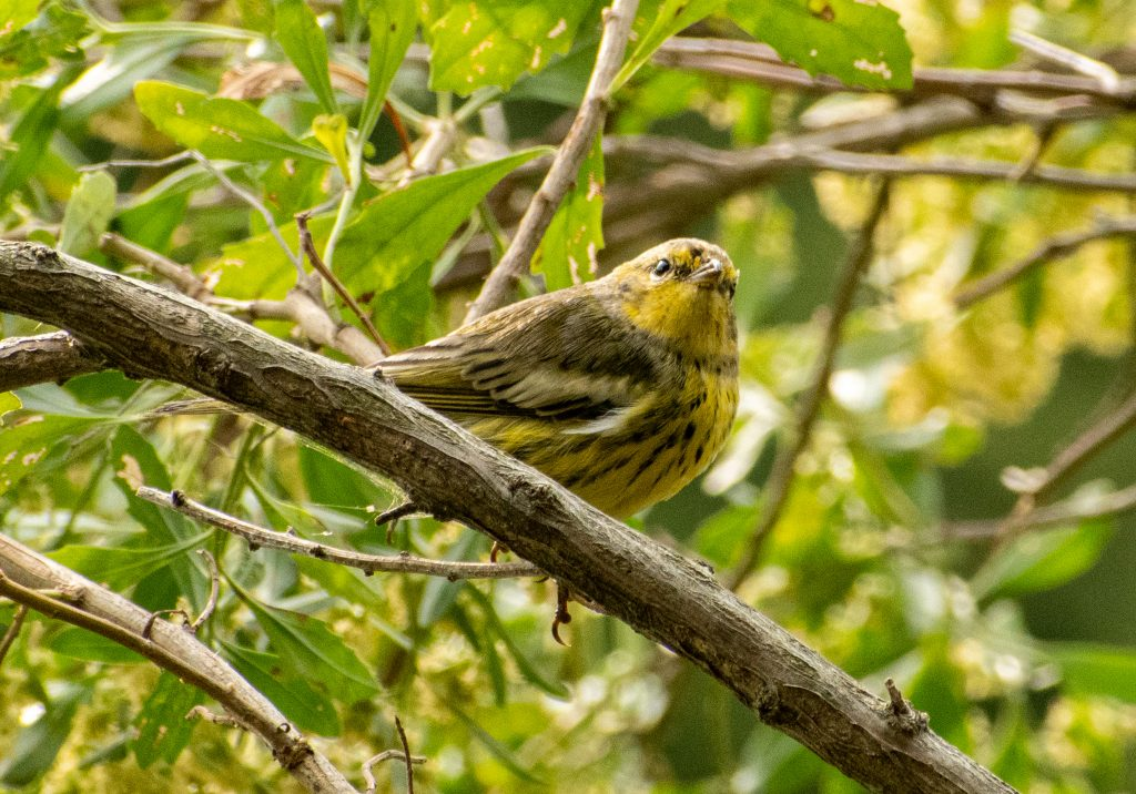 Magnolia (maybe?) warbler, Prospect Park