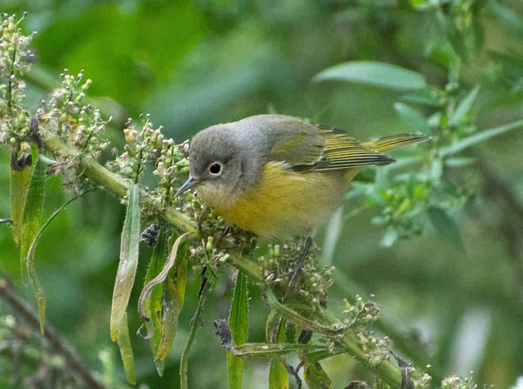 Nashville warbler, Prospect Park
