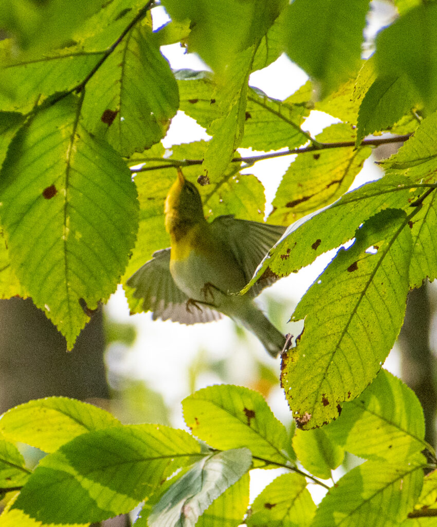 Northern parula (maybe?), Prospect Park