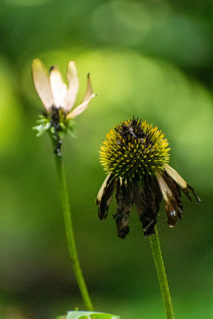 Purple coneflower, Prospect Park
