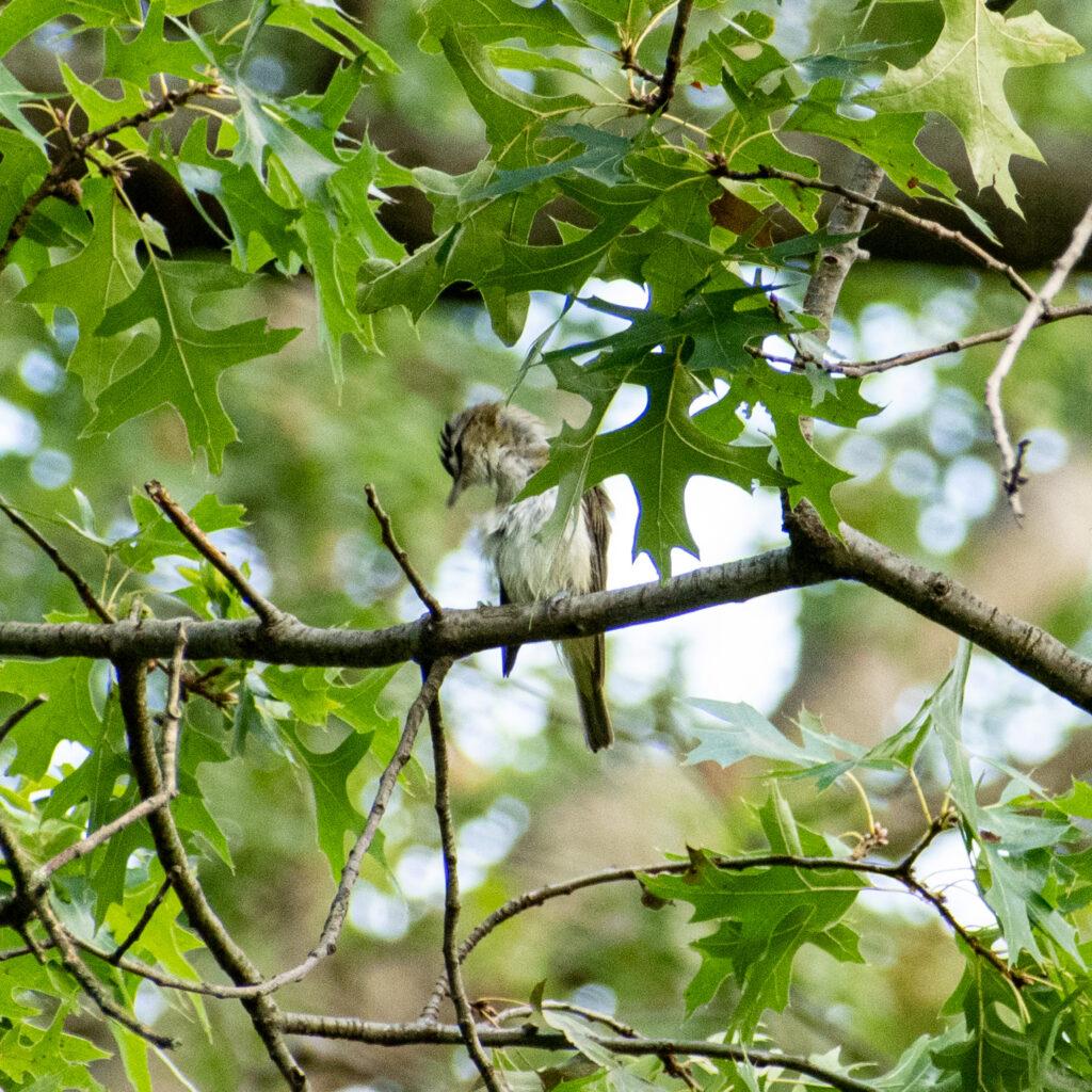 Red-eyed vireo, Prospect Park