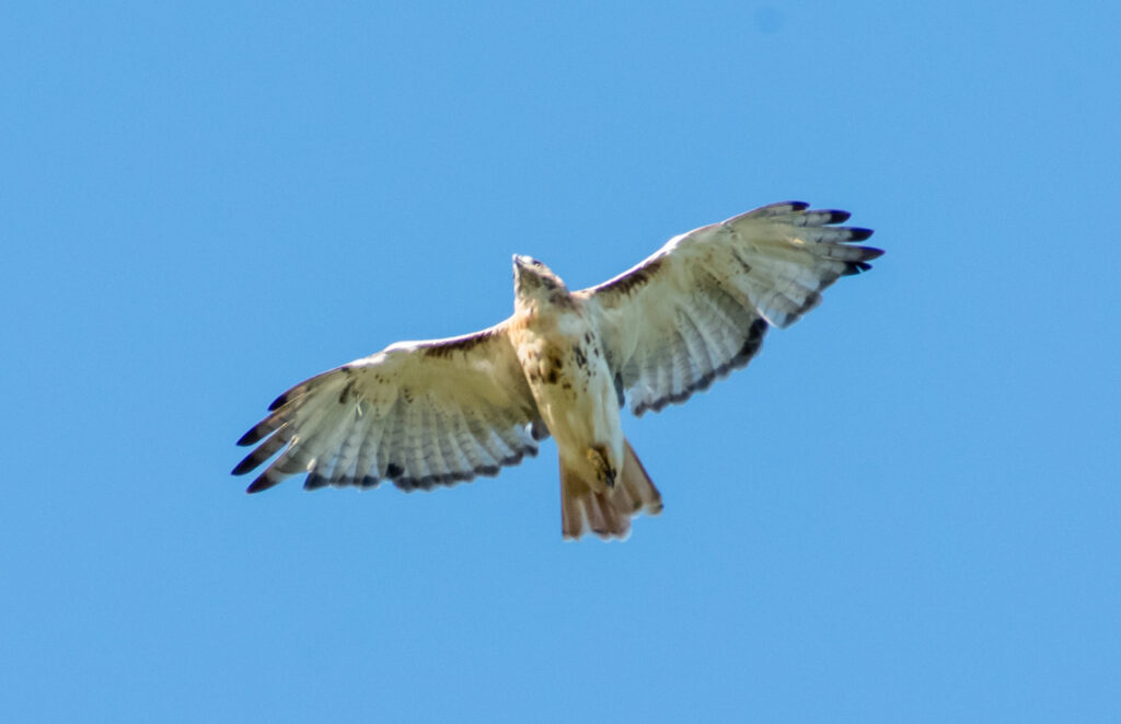 Red-tailed hawk (juvenile Eastern), Prospect Park