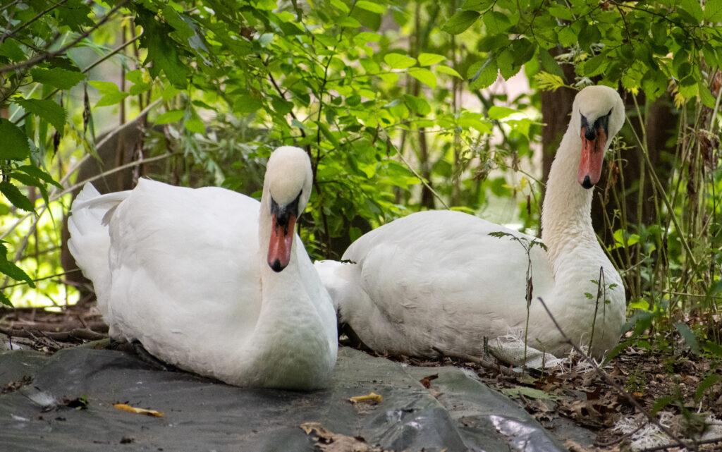 Swans, Prospect Park